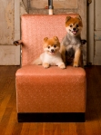 Sarah Andre's beloved pomeranians, Gypsy and Angel can't help but make you smile.