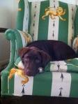 Rosie in my chair