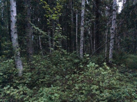 Fairbanks forest at midnight